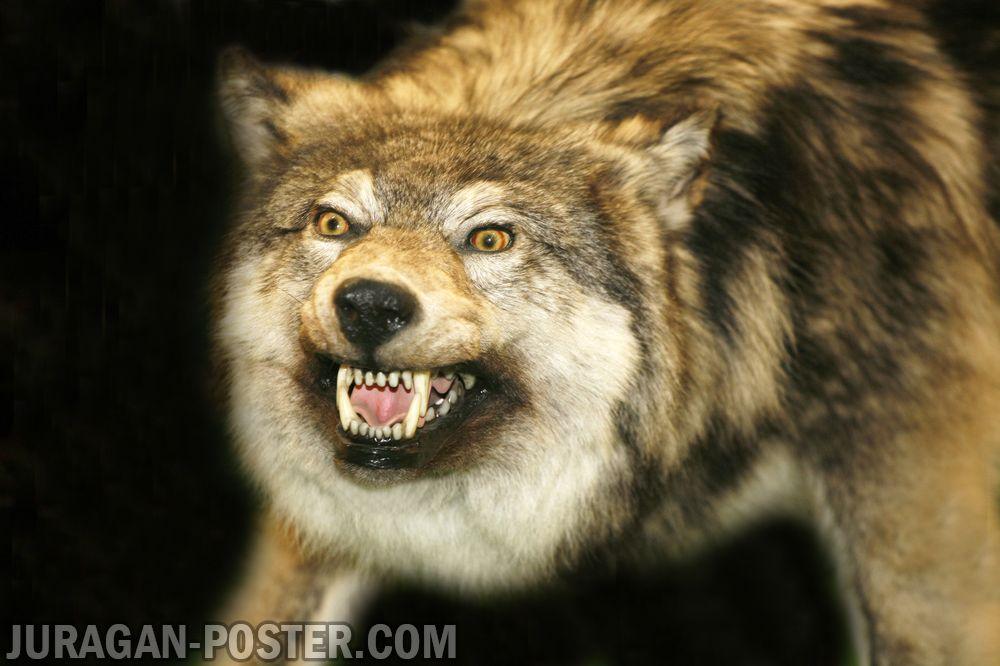 Animal Face Wallpaper Wolf Jual Poster Di Juragan Poster