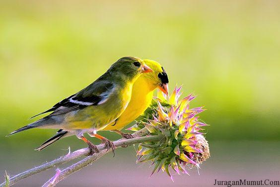 Burung Goldfinch Amerika