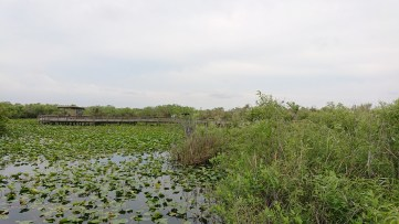 The Anhinga trail with the swampy landscape, the cofortable wooden path and an anhinga bird proudly spreading its wings