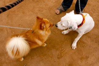 A Pomeranian mix and a very friendly Dogo Argentino puppy