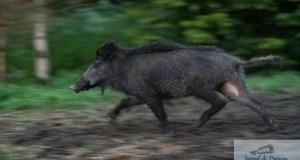 WWF Romania : Masurile propuse pentru combaterea pestei porcine pot crea un dezastru ecologic 5