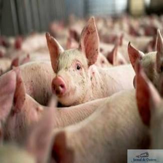 Sprijin pentru crescatorii de porci 1