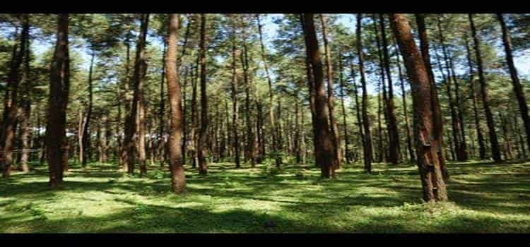 hutan pinus di prabalintang