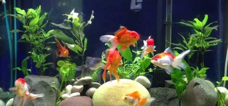 cara merawat ikan mas koki di aquarium agar tidak mati dan tumbuh sehat