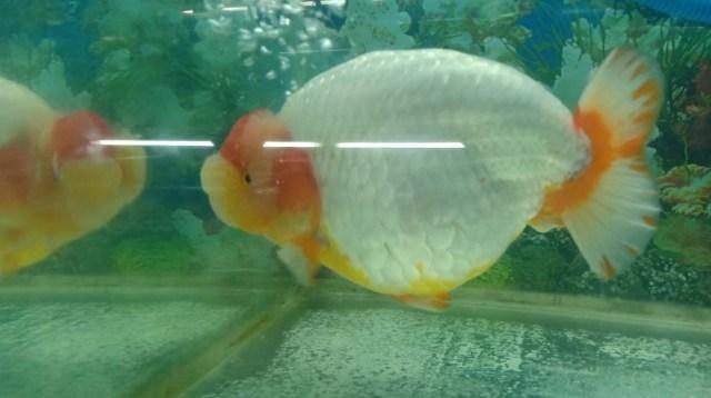 Ikan mas koki. Pelihara ikan mas koki, hobi menjanjikan di masa pandemi. (foto: istimewa)