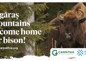 Zimbrii vin acasă în munții Făgăraș