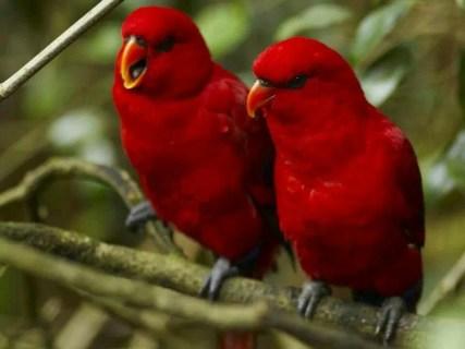 canari rosii