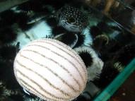 Pufferfish and sea urchins; Lei Yue Mun
