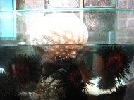 Another angle of the pufferfish and urchins; Lei Yue Mun