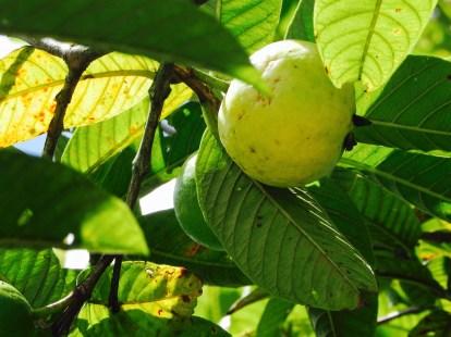 Guave Mogote