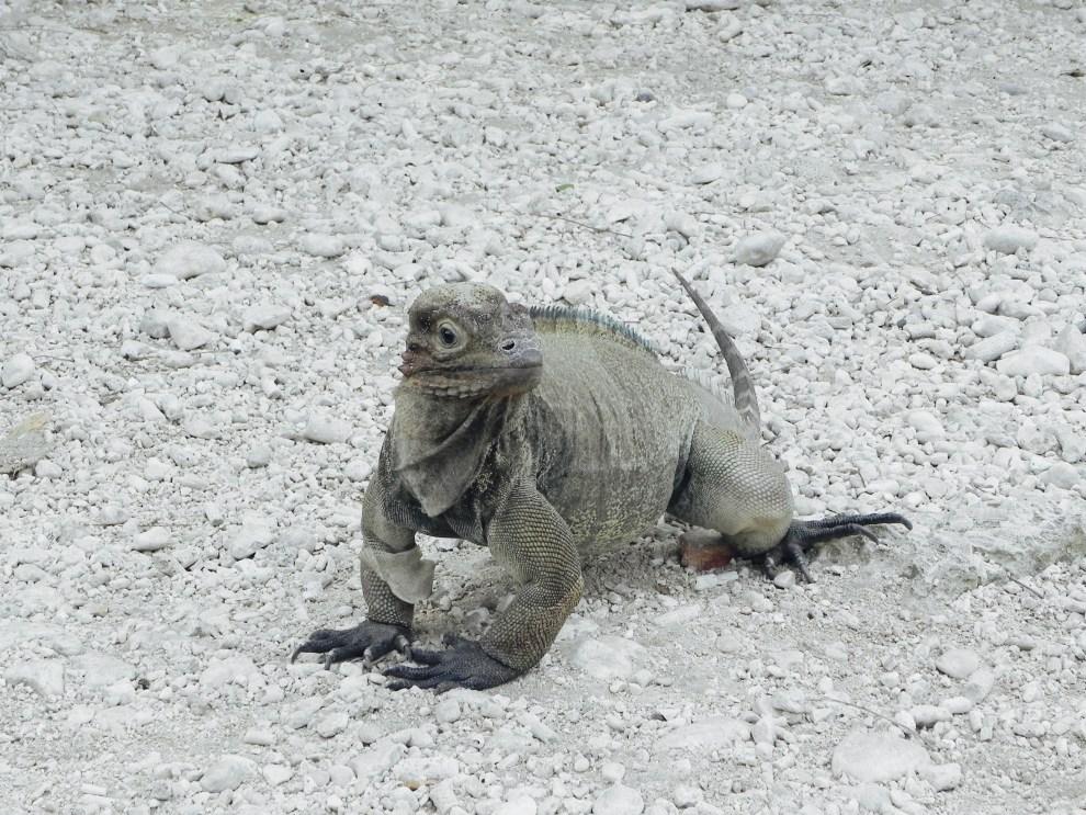 Leguan Lago Enriquillo Dominikanische Republik