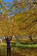 Picking fruit in Fruita