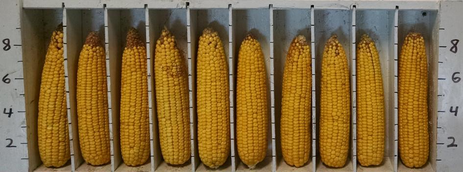 Aug 2015 Corn