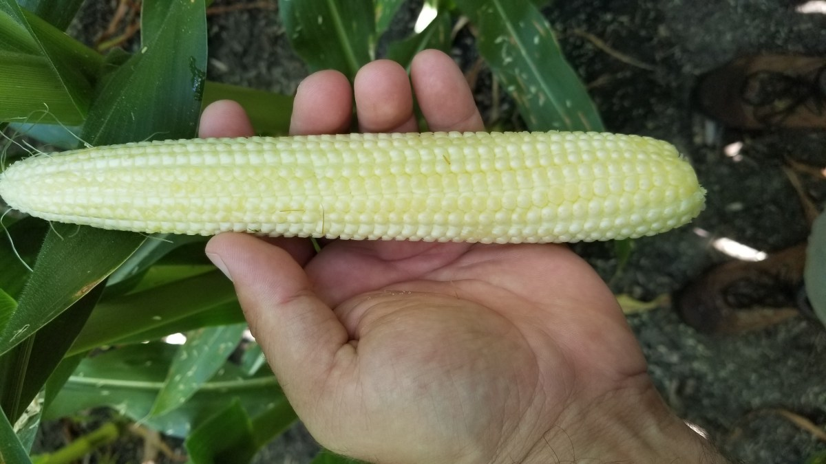 2019 Ear of Corn
