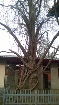 One of the cool trees inside the Confucian Temple!