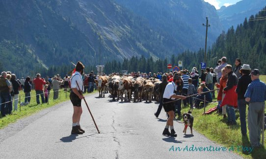 The Herdsman joked with the crowds as they made their way down the street. Tanheimertal Almabtrieb