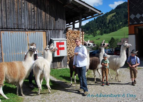Alpacas participated in the Almabtrieb in Tannheim. They seemed a bit less inclined to cooperate than the cows though.
