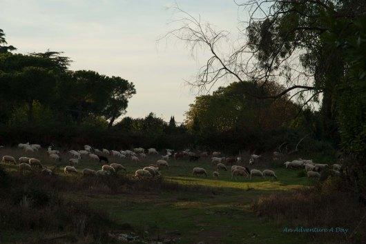 An unexpected sight, sheep graze in Rome, near the Apian Way.