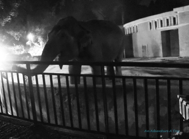 We spent quite a while with the elephants during our evening stroll at Rome's Zoo.