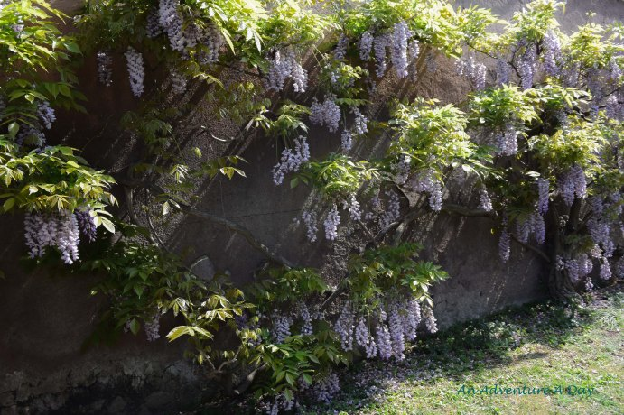 sunny wisteria spot