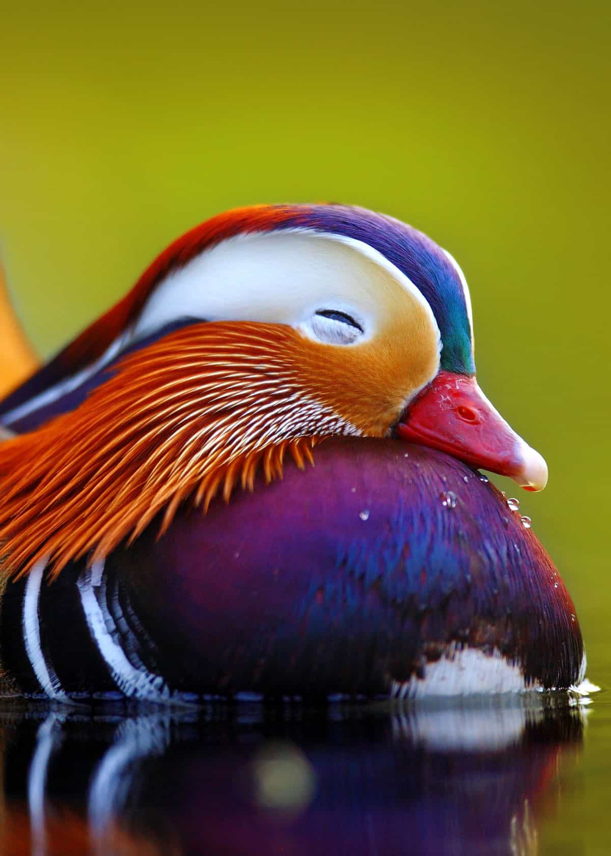 27 Mandarin Duck Facts You Need To Know