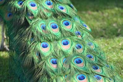 Pfau ( Peacock )