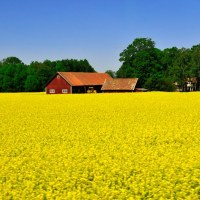 Fields of Gold: Rapeseeds in Bavaria