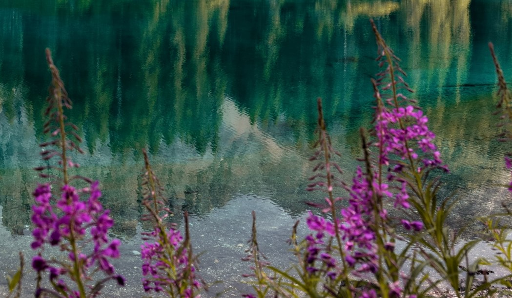 pink flowers by a lake