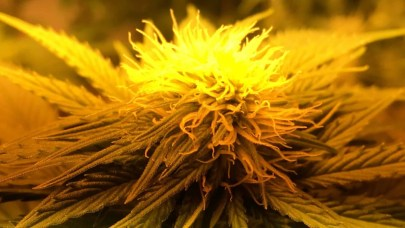 Female cannabis flower