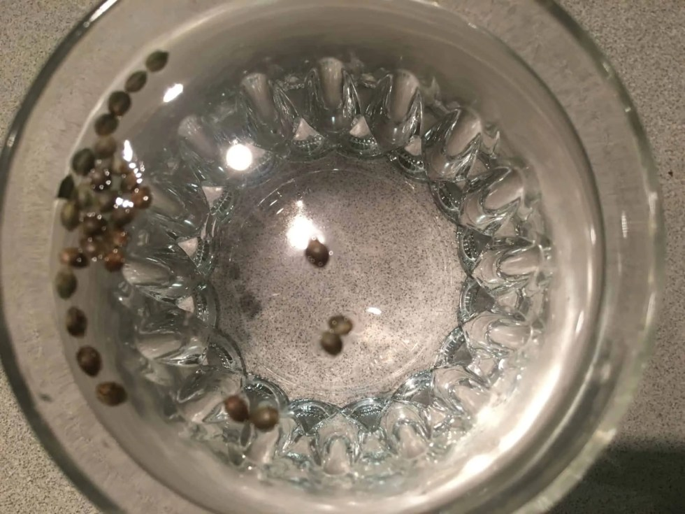 IMG 4088 - How To Germinate Cannabis Seeds