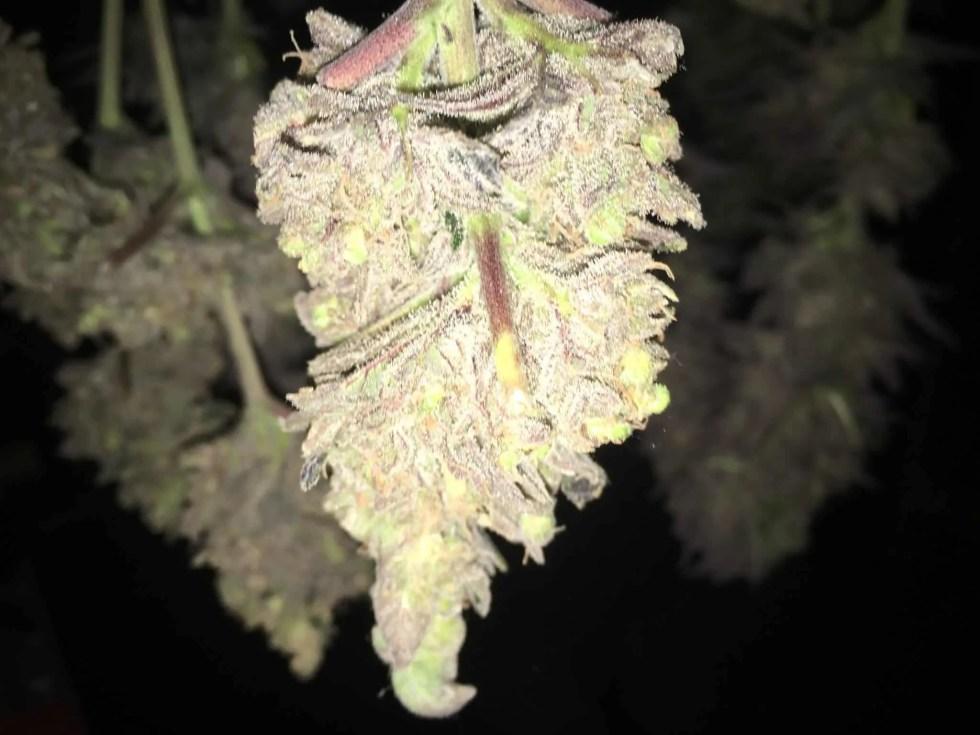 Curing Cannabis Bud