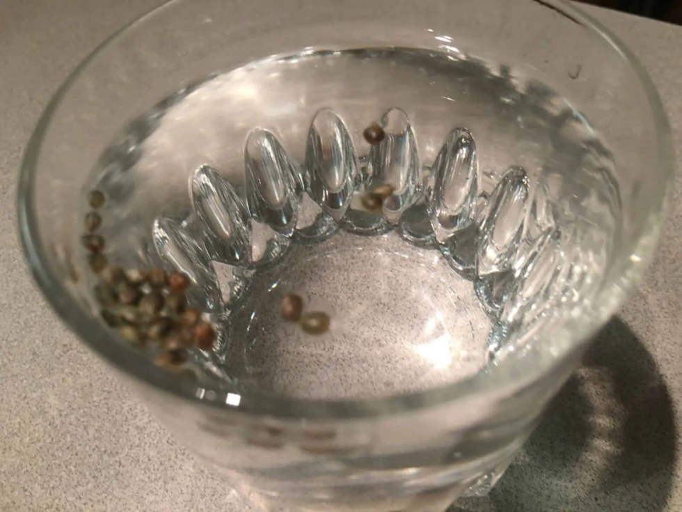 Cannabis Seed Floating in Water