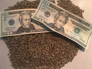 Cannabis Seed and Money