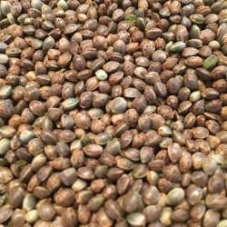 cheapest cannabis seeds
