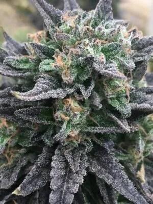 Pauls Purple Fire Cannabis