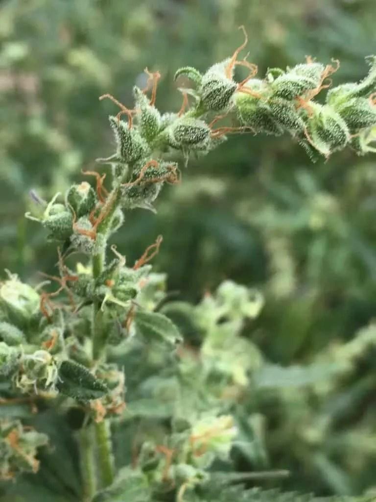 Thin Cannabis Flower