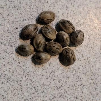 Mature Tiger Stripped Cannabis seeds