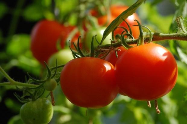 tomato plant indoors