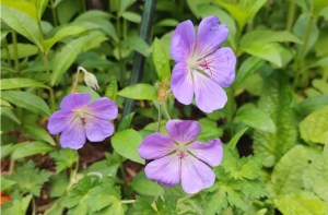 Purple Flowers with Green Foliage