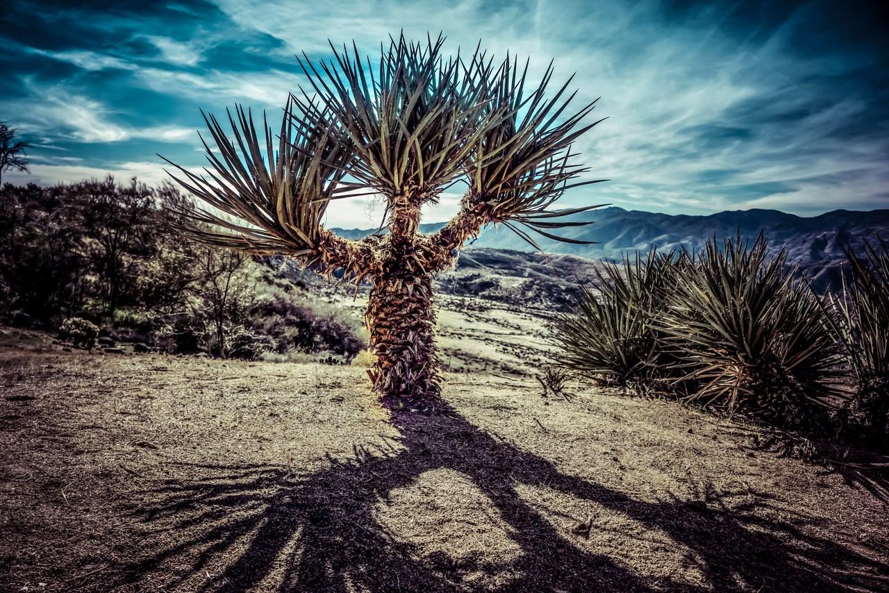 Madagascar Palm   Palm Tree   Palm Paradise Nursery   Name Cactus Palm Tree