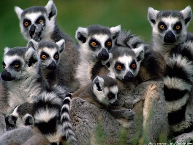 Interesting facts about lemurs