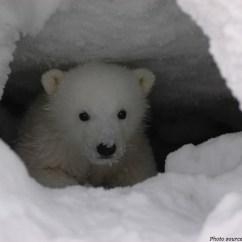 Polar Bear Fur Diagram Daikin Ac Split System Wiring Interesting Facts About Bears | Just Fun