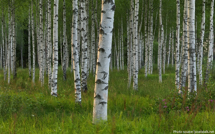 interesting facts about birch
