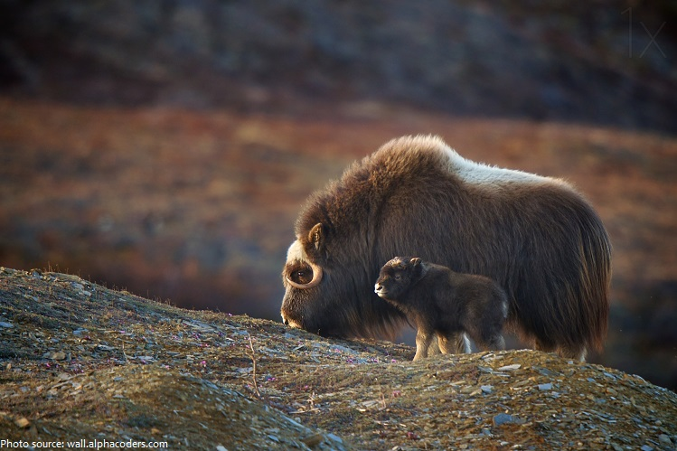 Cute Baby With Parents Wallpaper Interesting Facts About Musk Ox Just Fun Facts