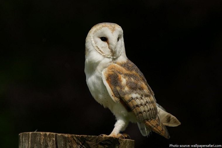 Cute Barn Tyto Owl Wallpaper Interesting Facts About Barn Owls Just Fun Facts