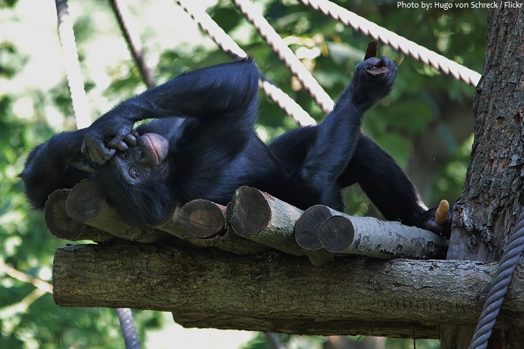 bonobo 2 - Interesting facts about bonobos