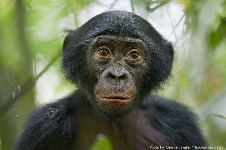 bonobo 3 - Interesting facts about bonobos