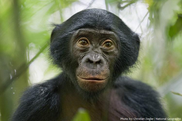 bonobo 3 - Interesting facts about bonobos