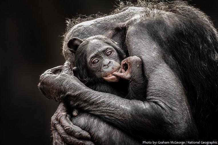bonobo mother and baby