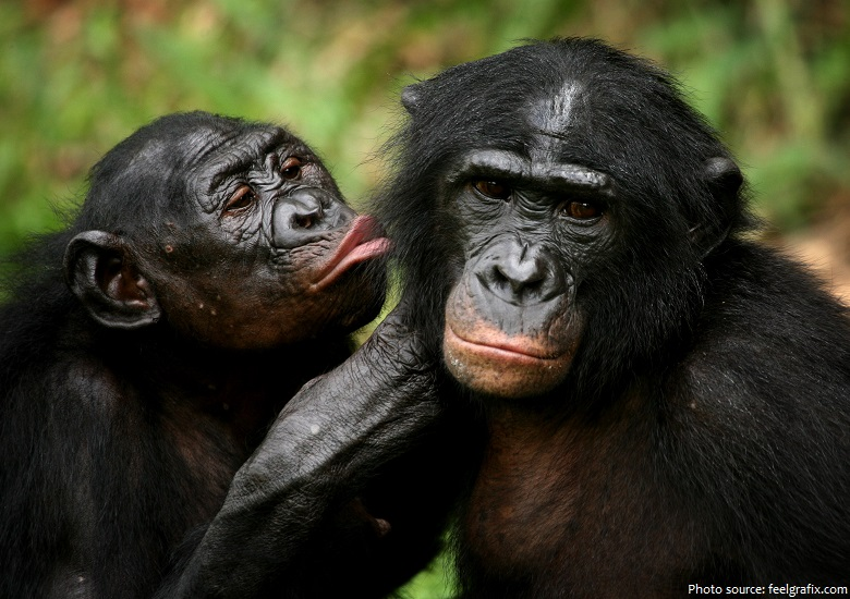 bonobos communicate - Interesting facts about bonobos